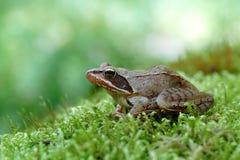 Κοινός βάτραχος Στοκ φωτογραφία με δικαίωμα ελεύθερης χρήσης