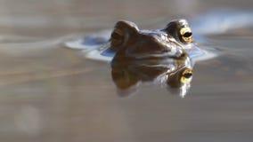 Κοινός βάτραχος, temporaria Rana, που επιπλέει και που κολυμπά σε μια λίμνη στο εθνικό πάρκο cairngorms, την άνοιξη φιλμ μικρού μήκους