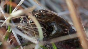 Κοινός βάτραχος, temporaria Rana, που επιπλέει και που κολυμπά σε μια λίμνη στο εθνικό πάρκο cairngorms, την άνοιξη απόθεμα βίντεο