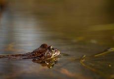 Κοινός βάτραχος, temporaria Rana, σε μια λίμνη κήπων στη Νορβηγία Άποψη από την πλευρά, αντανάκλαση του βατράχου στο νερό Άνοιξη  Στοκ φωτογραφίες με δικαίωμα ελεύθερης χρήσης
