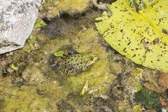 Κοινός βάτραχος, temporaria Rana, σε μια λίμνη Στοκ εικόνες με δικαίωμα ελεύθερης χρήσης