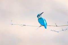 κοινός βασιλιάς ψαράδων Στοκ Φωτογραφίες