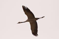 Κοινός γερανός που πετά Στοκ φωτογραφία με δικαίωμα ελεύθερης χρήσης