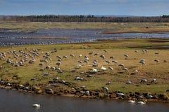 Κοινός γερανός, grus Grus, μεγάλο πουλί στο βιότοπο φύσης, λίμνη Hornborga, Σουηδία Σκηνή άγριας φύσης από την Ευρώπη Γκρίζος γερ στοκ εικόνες με δικαίωμα ελεύθερης χρήσης