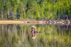 Κοινός γλάρος που γίνεται τη φωλιά πάνω από το κολόβωμα στο νερό Στοκ Φωτογραφίες