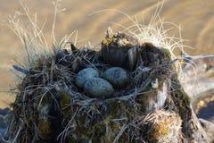 Κοινός γλάρος που γίνεται τη φωλιά πάνω από το κολόβωμα στο νερό Στοκ φωτογραφίες με δικαίωμα ελεύθερης χρήσης