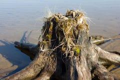 Κοινός γλάρος που γίνεται τη φωλιά πάνω από το κολόβωμα στο νερό Στοκ φωτογραφία με δικαίωμα ελεύθερης χρήσης