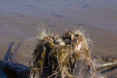 Κοινός γλάρος που γίνεται τη φωλιά πάνω από το κολόβωμα στο νερό Στοκ Εικόνα