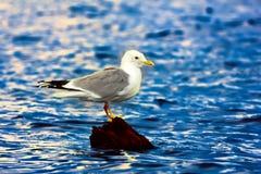 Κοινός γλάρος (canus Larus, ενήλικο) Στοκ εικόνες με δικαίωμα ελεύθερης χρήσης