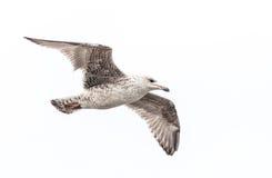 κοινός γλάρος Στοκ Φωτογραφία