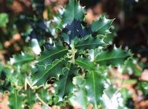 Κοινός ελαιόπρινος, aquifolium Ilex Στοκ Εικόνες