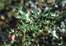 Κοινός ελαιόπρινος, aquifolium Ilex Στοκ φωτογραφία με δικαίωμα ελεύθερης χρήσης