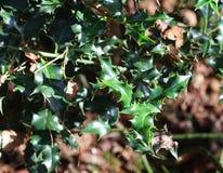 Κοινός ελαιόπρινος, aquifolium Ilex Στοκ φωτογραφίες με δικαίωμα ελεύθερης χρήσης