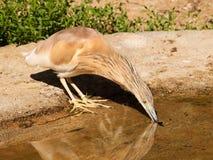 Κοινός ερωδιός Squacco - Ardeola ralloides - dring νερό Στοκ Φωτογραφία