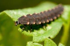 Κοινός κάνθαρος πυράκτωση-σκουληκιών σε ένα πράσινο φύλλο Φυσικό περιβάλλον σκουληκιών πυράκτωσης Το θηλυκό glowworm είναι ένα κο Στοκ φωτογραφία με δικαίωμα ελεύθερης χρήσης