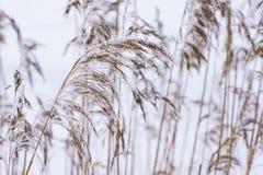 Κοινός κάλαμος τον παγωμένο κρύο χειμώνα Παγωμένο άχυρο Θερμοκρασίες παγώματος στη φύση Στοκ εικόνα με δικαίωμα ελεύθερης χρήσης