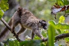 Κοινός καφετής κερκοπίθηκος με το μωρό στην πλάτη Στοκ Εικόνες