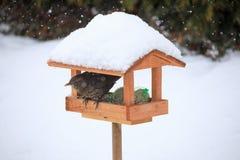 Κοινός κότσυφας κοτσύφων στον απλό τροφοδότη πουλιών Στοκ εικόνες με δικαίωμα ελεύθερης χρήσης