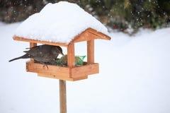 Κοινός κότσυφας κοτσύφων στον απλό τροφοδότη πουλιών Στοκ εικόνα με δικαίωμα ελεύθερης χρήσης