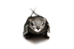Κοινός κύψελλος στο λευκό Στοκ Φωτογραφίες