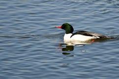 Κοινός μέργος που κολυμπά στην μπλε λίμνη Στοκ φωτογραφία με δικαίωμα ελεύθερης χρήσης