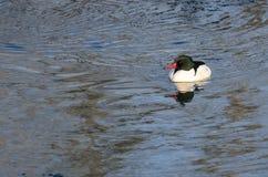 Κοινός μέργος που κολυμπά στο κρύο μπλε νερό Στοκ εικόνες με δικαίωμα ελεύθερης χρήσης