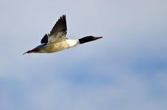 Κοινός μέργος που πετά σε έναν μπλε ουρανό Στοκ φωτογραφίες με δικαίωμα ελεύθερης χρήσης