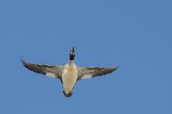 Κοινός μέργος που πετά σε έναν μπλε ουρανό Στοκ φωτογραφία με δικαίωμα ελεύθερης χρήσης
