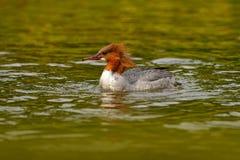 Κοινός μέργος, μέργος Mergus, πουλί νερού στο νερό, πορτρέτο κινηματογραφήσεων σε πρώτο πλάνο του πρασινολαίμη, επιφάνεια λιμνών  στοκ φωτογραφία με δικαίωμα ελεύθερης χρήσης