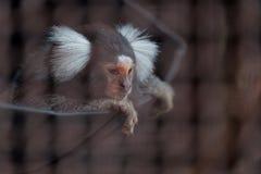 Κοινός πίθηκος Marmoset κενός στοκ φωτογραφίες