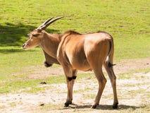 Κοινός ταυρότραγος στο λιβάδι - Taurotragus oryx Στοκ φωτογραφία με δικαίωμα ελεύθερης χρήσης