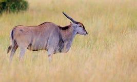 Κοινός ταυρότραγος antilope στο βιότοπο φύσης Στοκ φωτογραφία με δικαίωμα ελεύθερης χρήσης