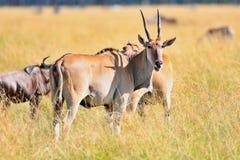 Κοινός ταυρότραγος antilope στο βιότοπο φύσης Στοκ Εικόνες