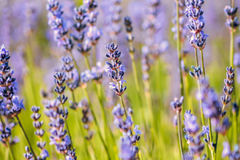 Κοινός τομέας λουλουδιών της Heather στοκ εικόνα με δικαίωμα ελεύθερης χρήσης
