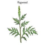 Κοινός το artemisiifolia αμβροσιών διανυσματική απεικόνιση