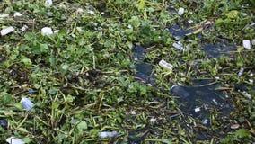 Κοινός υάκινθος νερού και πολλά απορρίματα στην επιφάνεια του νερού του ποταμού praya Choa φιλμ μικρού μήκους