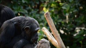 Κοινός χιμπατζής που χασμουριέται παρουσιάζοντας όλους τα δόντια και κυνόδοντές του - παν τρωγλοδύτες απόθεμα βίντεο