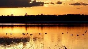 Κοινός χωριάτης, gavia immer, συλλογή των κρατικών πουλιών Minneaota στο ηλιοβασίλεμα απόθεμα βίντεο