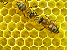 κοινότητα μελισσών Στοκ φωτογραφίες με δικαίωμα ελεύθερης χρήσης