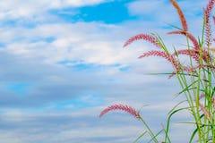Κοινότητα χλόης λουλουδιών με το pedicellatum Pennisetum ονόματος μπλε ουρανού στοκ εικόνα