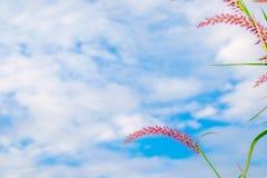 Κοινότητα χλόης λουλουδιών με το pedicellatum Pennisetum ονόματος μπλε ουρανού στοκ εικόνα με δικαίωμα ελεύθερης χρήσης
