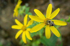 Κοινό ανατολικό Bumblebee λουλούδι Στοκ εικόνες με δικαίωμα ελεύθερης χρήσης