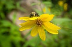 Κοινό ανατολικό Bumblebee λουλούδι Στοκ φωτογραφία με δικαίωμα ελεύθερης χρήσης