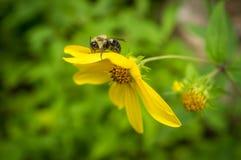 Κοινό ανατολικό Bumblebee λουλούδι Στοκ φωτογραφίες με δικαίωμα ελεύθερης χρήσης