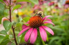 Κοινό ανατολικό Bumblebee λουλούδι Στοκ εικόνα με δικαίωμα ελεύθερης χρήσης