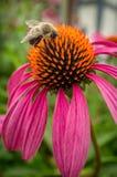 Κοινό ανατολικό Bumblebee λουλούδι Στοκ Εικόνες