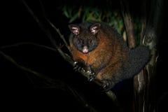 Κοινό βούρτσα-παρακολουθημένο Possum - vulpecula Trichosurus - νυκτερινό, ημι-δενδρικό marsupial της Αυστραλίας, που εισάγονται σ Στοκ Φωτογραφίες