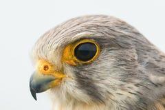 Κοινό γεράκι ευρωπαϊκό γεράκι tinnunculus FALCO πορτρέτου στενό επάνω στοκ φωτογραφία