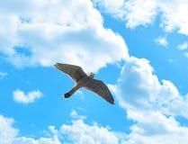 Κοινό γεράκι Στοκ εικόνα με δικαίωμα ελεύθερης χρήσης