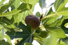 Κοινό δέντρο σύκων για τη συγκομιδή Στοκ Εικόνες
